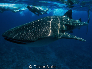 wunderful experience to snorkel with a whale shark. Unfor... by Olivier Notz 